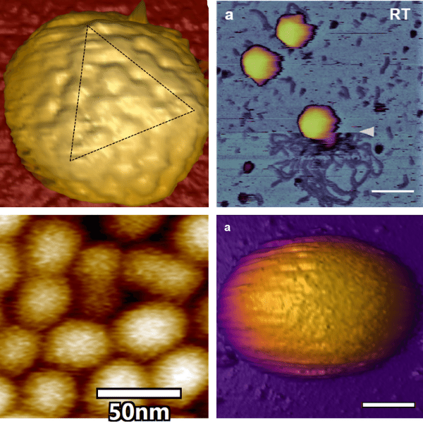 AFM virus images, capsid HSV1, T7 bacteriophage